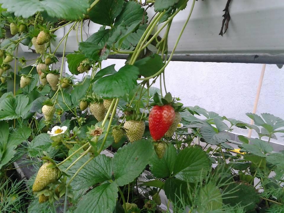 En otoño se pueden comer frutillas gracias a la hidroponia.